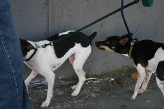 ratonero bodeguero andaluz(0.0), animal(1.0), danish swedish farmdog(1.0), dog(1.0), brazilian terrier(1.0), pet(1.0), mammal(1.0), toy fox terrier(1.0),