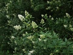 apiales(0.0), evergreen(0.0), shrub(0.0), cow parsley(0.0), galium odoratum(0.0), anthriscus(0.0), produce(0.0), flower(1.0), subshrub(1.0), herb(1.0), flora(1.0), meadowsweet(1.0),