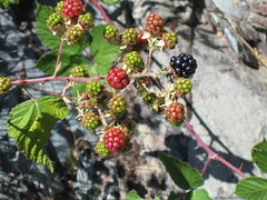 blackberry, berry, branch, leaf, red mulberry, plant, wine raspberry, flora, produce, fruit, food, dewberry,