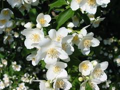jasmine, blossom, shrub, flower, plant, rosa rubiginosa, flora, rosa pimpinellifolia,