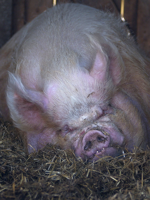 Ugliest Pig In The World ugly pig | Flickr - Ph...