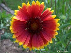 gaillardia, annual plant, flower, yellow, plant, gerbera, macro photography, wildflower, flora, close-up, plant stem, petal,