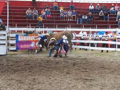 equestrian sport(0.0), barrel racing(0.0), animal sports(1.0), rodeo(1.0), bull(1.0), sport venue(1.0), event(1.0), sports(1.0), bull riding(1.0),
