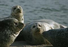 Harbor Seals at Salishan