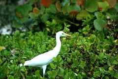 animal, nature, green, fauna, jungle, great egret, heron, beak, bird, wildlife,
