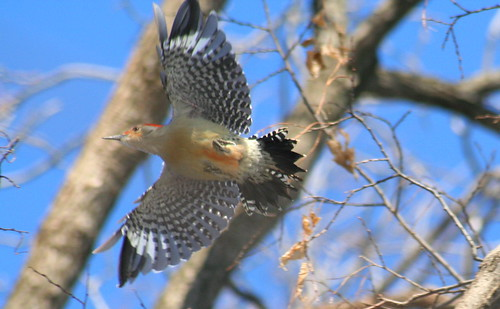 Red-Bellied Woodpecker flying