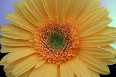 big yellow daisy