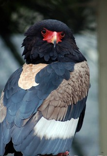 An intense stare! The Bateleur Eagle from Africa