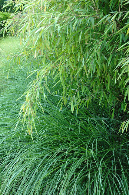 Fargesia in combination with Miscanthus sinensis