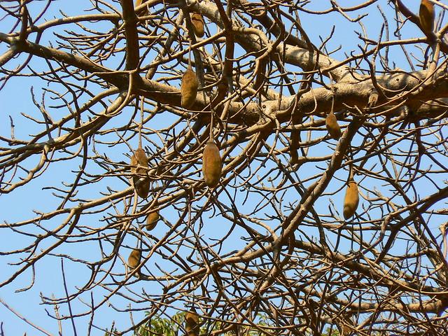 Dead Rat Tree Flickr Photo Sharing