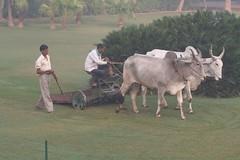 cattle-like mammal, animal, mammal, ox, cattle, pasture,