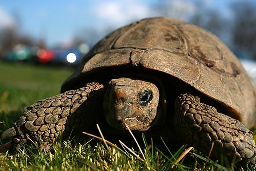 Griechische Landschildkröte (3)