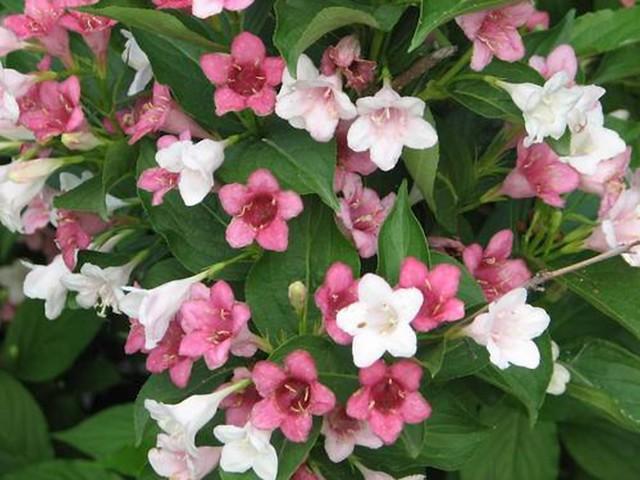 Arbustes â fleurs rose et blanche.  Flickr - Photo Sharing!