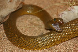 Inland Taipan, the World's Deadliest Snake