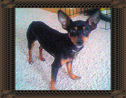 min pin junior