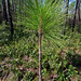 Pinus palustris (juvenile), St. Marks National Wildlife Refuge, Wakulla County, Florida 1