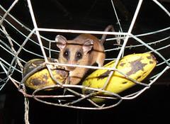 kinkajou(0.0), procyonidae(0.0), animal(1.0), rat(1.0), mammal(1.0), animal shelter(1.0),