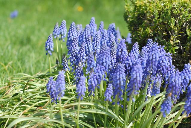 purple bellshaped flowers flickr photo sharing