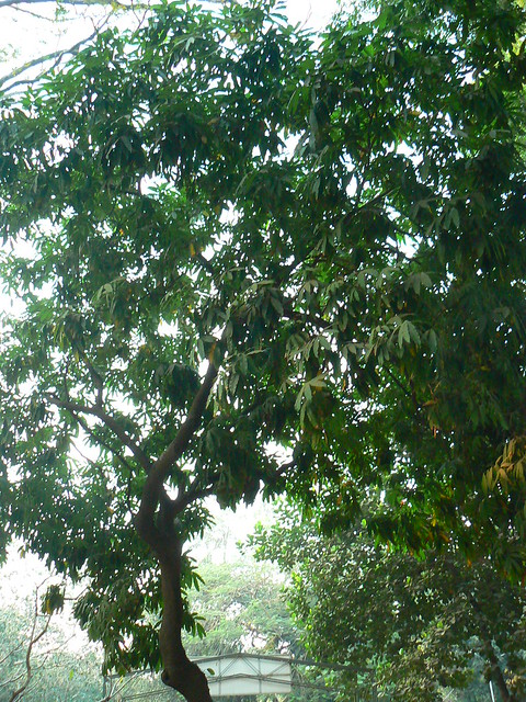 Ashoka tree - a photo on Flickriver