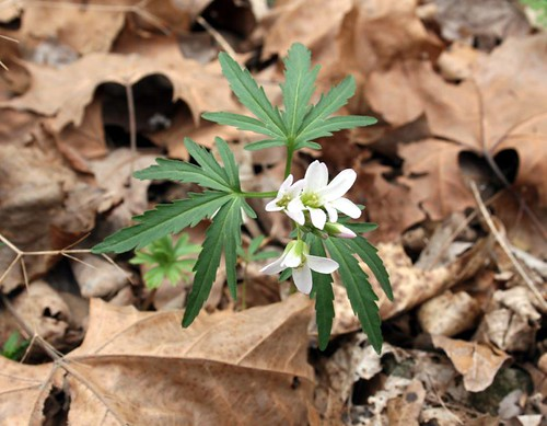 Cut-leaf toothwort, Dentaria laciniata