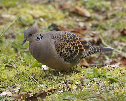 Eastern Oriental Turtle-Dove (Streptopelia orientalis orientalis)