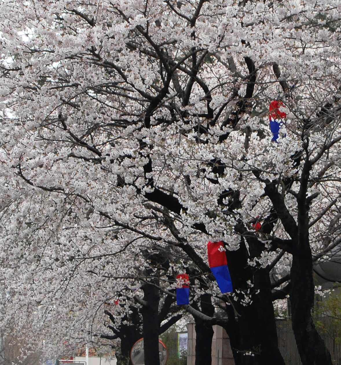 Spring Blossoms in Daejeon