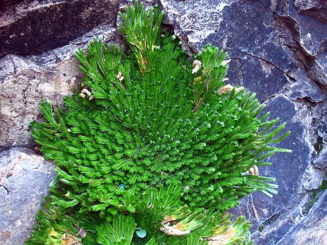 Selaginella pilifera - Página 2 448156431_df975b9c20_z