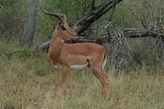 animal, prairie, antelope, mammal, hartebeest, fauna, white-tailed deer, impala, gazelle, wildlife,