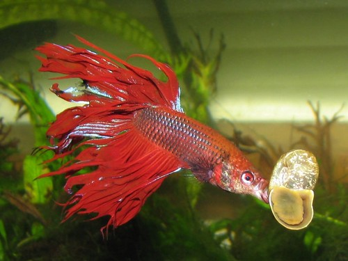 Betta fish poll results will you continue to buy veil for Order betta fish