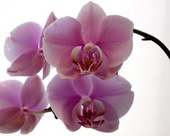 cattleya labiata(0.0), plant(0.0), cattleya trianae(0.0), flower(1.0), purple(1.0), violet(1.0), lilac(1.0), phalaenopsis equestris(1.0), moth orchid(1.0), dendrobium(1.0), pink(1.0), petal(1.0),