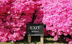 shrub, flower, tree, flora, spring, pink, azalea,