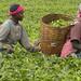 Tea Harvest, Kenya by franz88