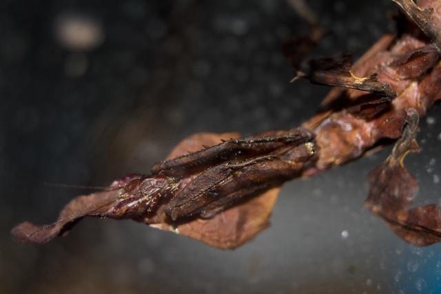 Ghost Mantis - Phyllocrania paradoxa