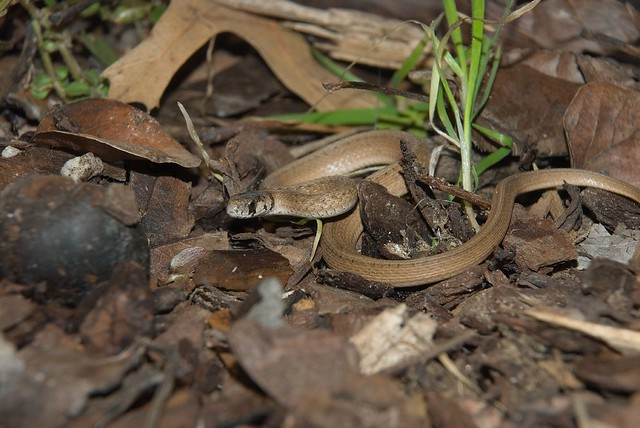 Storeria dekayi texana texas brown snake flickr Garden snakes in texas