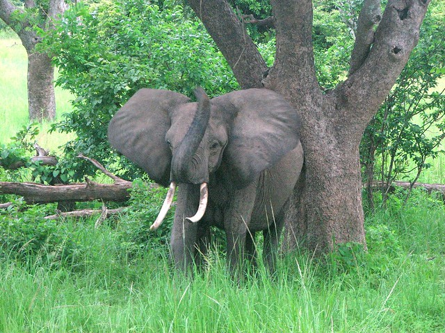 pygmy african elephant flickr photo sharing