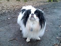 dog breed, animal, dog, pet, mammal, japanese chin, phalã¨ne, shih tzu,