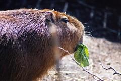 animal, rodent, fauna, close-up, marmot, capybara, whiskers, wildlife,