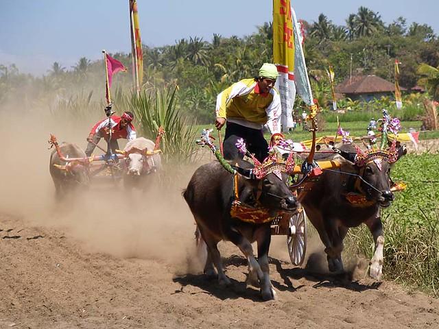 MEKEPUNG BULL RACE