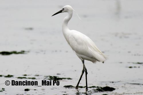 Great Egret 大白鷺