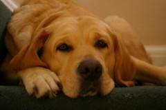 dog breed, labrador retriever, nose, animal, dog, pet, nova scotia duck tolling retriever, golden retriever, carnivoran,