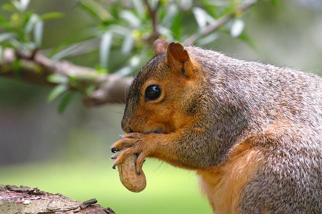 Red Tree Squirrel - Balboa Park, San Diego, California ...