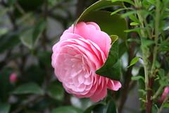 blossom(0.0), camellia sasanqua(0.0), garden roses(1.0), rosa 㗠centifolia(1.0), floribunda(1.0), flower(1.0), plant(1.0), flora(1.0), camellia japonica(1.0), theaceae(1.0), peony(1.0), pink(1.0), petal(1.0),