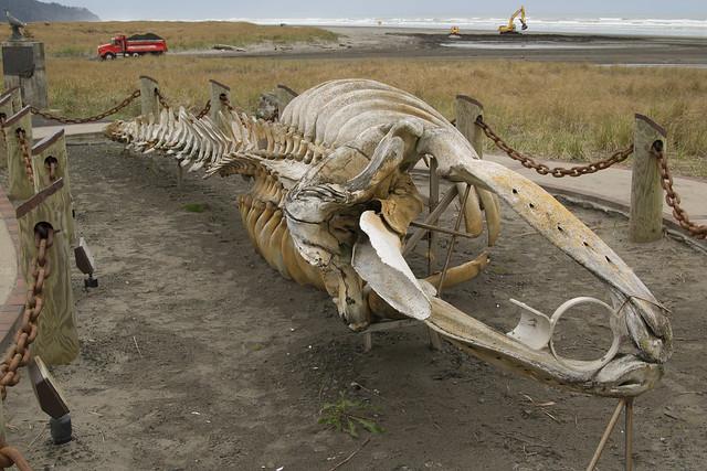 Whale skeleton on beach - photo#3