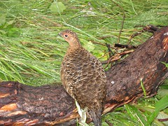 animal(1.0), pheasant(1.0), fauna(1.0), ruffed grouse(1.0), bird(1.0), galliformes(1.0), wildlife(1.0),