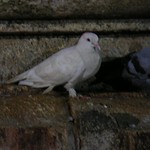Pigeon at kamakhya temple