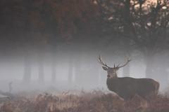 HolderRed Deer Stag, Bushy Park