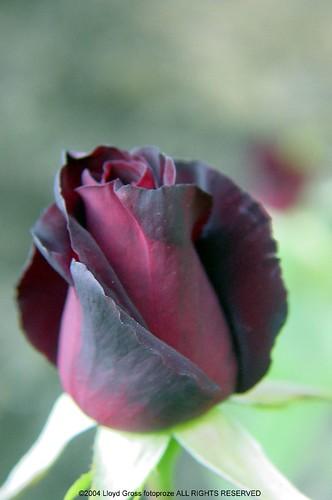 hybrid tea rose black baccara 20040623 156 a photo on. Black Bedroom Furniture Sets. Home Design Ideas