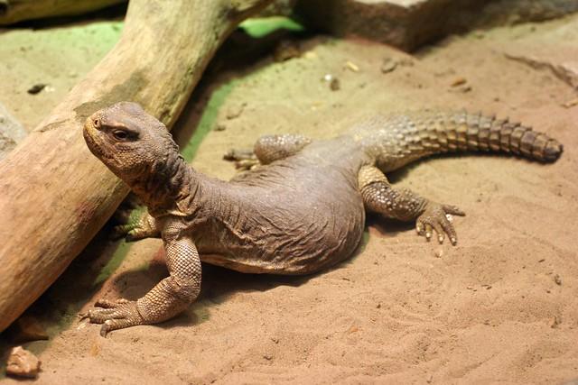 Fat Lizard Brunssi