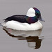 Bufflehead - Photo (c) Rick Leche, some rights reserved (CC BY-NC-ND)