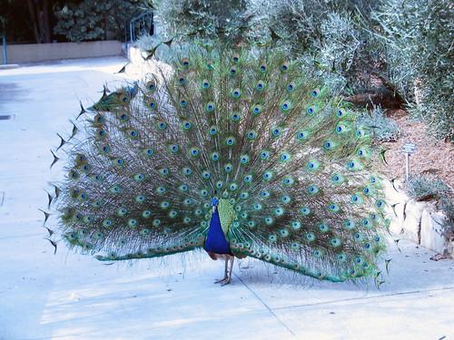 Peacock at LA Arboretum